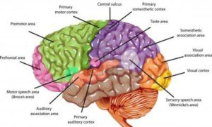 brain diagram 1 - edited